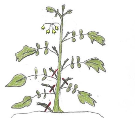 Mapaq Pourquoi Tailler Les Plants De Tomates